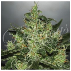 Critical x Jack Herer DELICIOUS SEEDS