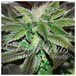 SUGAR CANDY DELICIOUS SEEDS