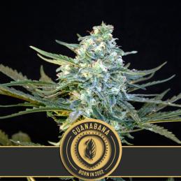 GUANABANA Blimburn sativagrowshop.com