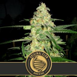 ORIGINAL CLON blimburn cannabis seeds