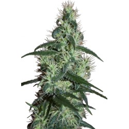 CAMISETA 420 - DOBLE IMPRESION - HAZE - M (NEGRA) * 420 BACKYARD - Imagen 1