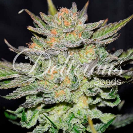 Auto Blue Ace Cbd DELICIOUS SEEDS
