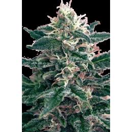 CAMISETA 420 - DOBLE IMPRESION - HAZE - L (NEGRA) * 420 BACKYARD - Imagen 1