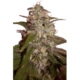 CAMISETA 420 - DOBLE IMPRESION - HAZE - L (BLANCA) * 420 BACKYARD - Imagen 1