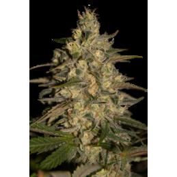 CAMISETA 420 - DOBLE IMPRESION - HAZE - XL (BLANCA) * 420 BACKYARD - Imagen 1