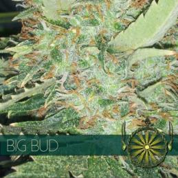 Big Bud VISION SEEDS