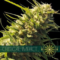 CRITICAL IMPACT VISION SEEDS