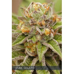 PURE GELATO VISION SEEDS