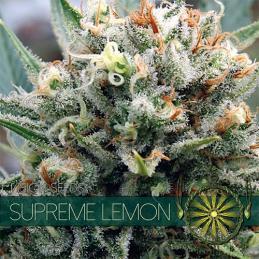 Supreme Lemon VISION SEEDS