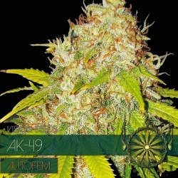 AK-49 - AUTO VISION SEEDS