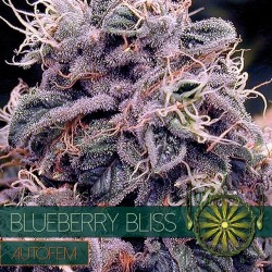 BLUEBERRY BLISS - AUTO VISION SEEDS
