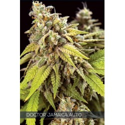 Doctor Jamaica Auto VISION SEEDS