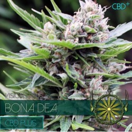 BONA DEA - CDB + VISION SEEDS