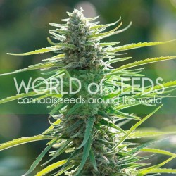 COLOMBIAN GOLD WORLD OF SEEDS