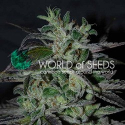 STRAWBERRY BLUE EARLY HARVEST WORLD OF SEEDS
