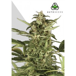 Juicy Lucy ACE SEEDS