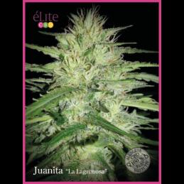 """Juanita """"La Lagrimosa"""" CBD ELITE SEEDS"""