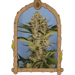 25 UND FEM - AUTO SKUNK MASS * ADVANCED SEEDS 25 UND FEM - Imagen 1