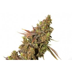 Outlet - 5 UND FEM - KALAMINOFF * ALL-IN MEDICINAL SEEDS FEMINIZADA 5 UND - Imagen 1