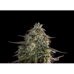 CHEESE AUTO EXPERT SEEDS