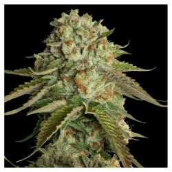 Kosher Kush  – DNA Genetics  Seeds - Sativagrowshop.com