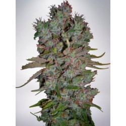 AUTO BLUEBERRY DOMINA MINISTRY OF CANNABIS