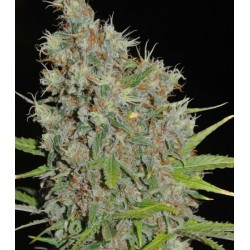 CBD KONGS KUSH SUMO SEEDS