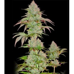 Critical Chronic SUMO SEEDS