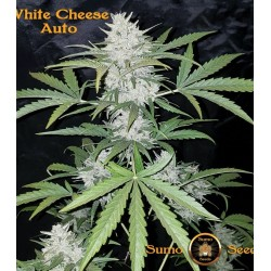 White Cheese Auto SUMO SEEDS
