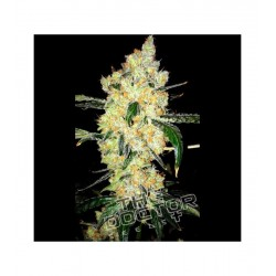 Cheese Special THE DOCTOR SEEDS