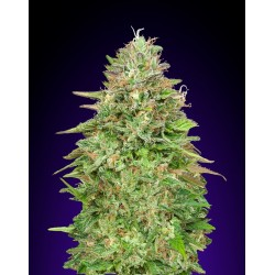Critical Poison Fast 00 Seeds