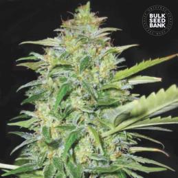semilla de marihuana AUTO LIME SKUNK