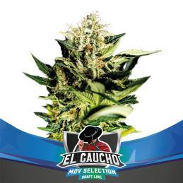 El Gaucho Faster Flowering BSF SEEDS
