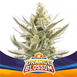 Orange Blossom XXL Auto BSF SEEDS
