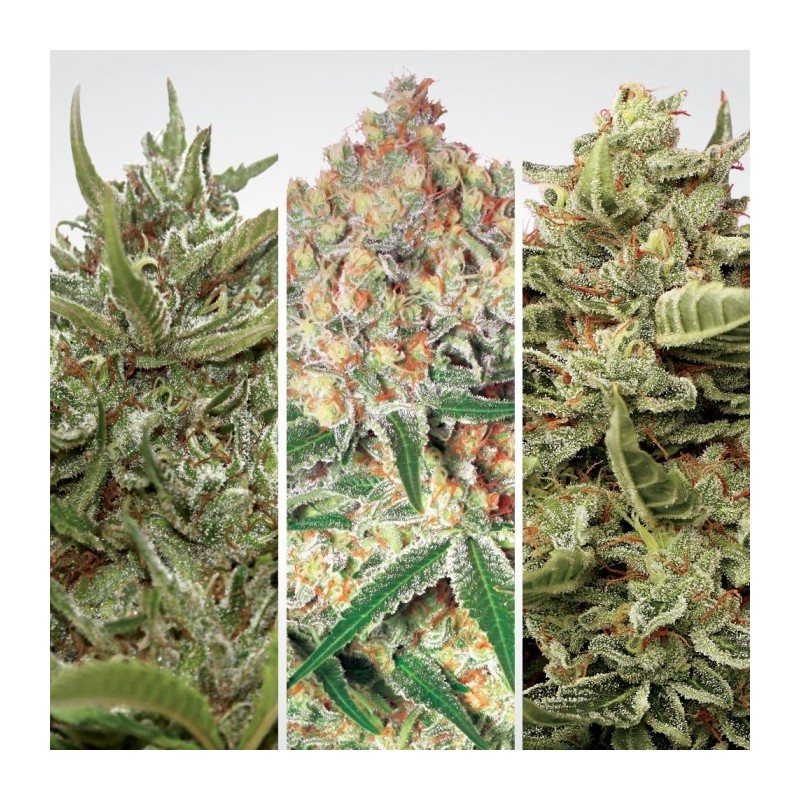 Auto Collection pack No-1 Paradise Seeds