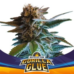 Gorilla Glue Auto BSF SEEDS