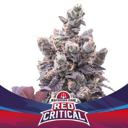 Red Critical BSF SEEDS