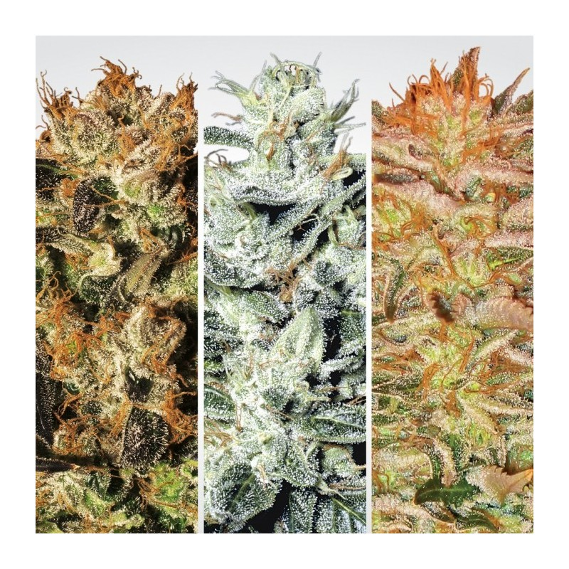 Indica Champions Pack by Paradise Seeds