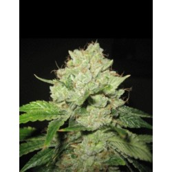 Cal-train Wreck 5 Semillas SAGARMATHA SEEDS