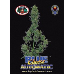 BLUE CHEESE AUTOMATIC  – Big Buddha Seeds - Sativagrowshop.com