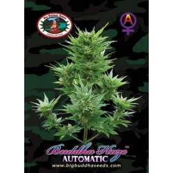 BUDDHA HAZE AUTOMATIC  – Big Buddha Seeds - Sativagrowshop.com