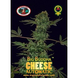 CHEESE AUTOMATIC  – Big Buddha Seeds - Sativagrowshop.com
