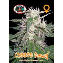 CHEESE DAWG  – Big Buddha Seeds - Sativagrowshop.com