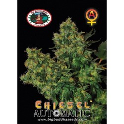 CHIESEL AUTO  – Big Buddha Seeds - Sativagrowshop.com