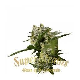 IBIZA FARMER'S - Super  Strains - Sativagrowshop.com