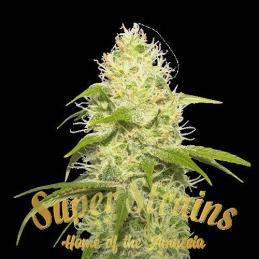 La Jefa Super  Strains - Sativagrowshop.com