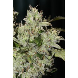 Fire Afghan Cookies - Mamiko Seeds - Sativagrowshop.com