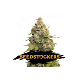 GOLDEN LEMON HAZE SeedStockers - Sativagrowshop.com