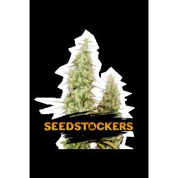 SANTA MARTA HAZE AUTO SeedStockers - Sativagrowshop.com