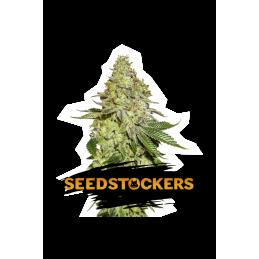 SHERBET SeedStockers - Sativagrowshop.com